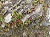 Кавказская брусника
