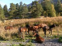 Ходють кони
